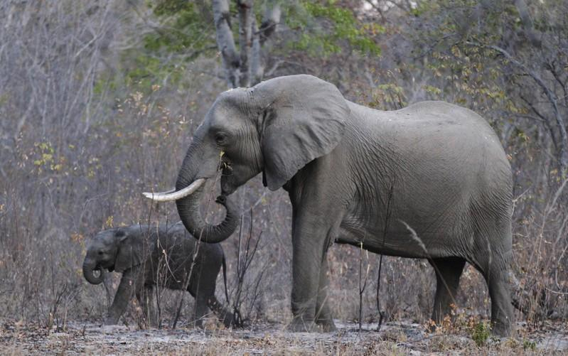 Trump halts decision to allow elephant trophy imports after uproar