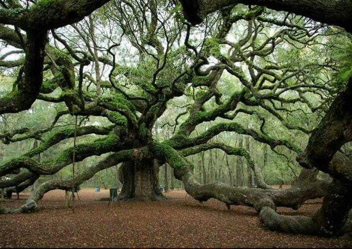 1500 year old Angel Oak Tree in south Carolina https://t.co/QGqmtKK3OM
