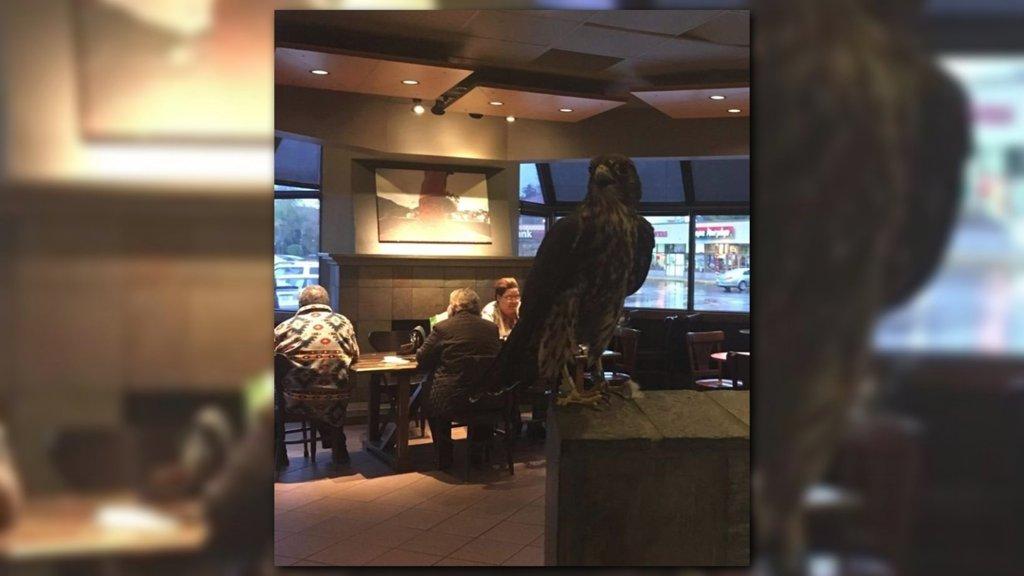 Merlin falcon flies into Seattle Starbucks