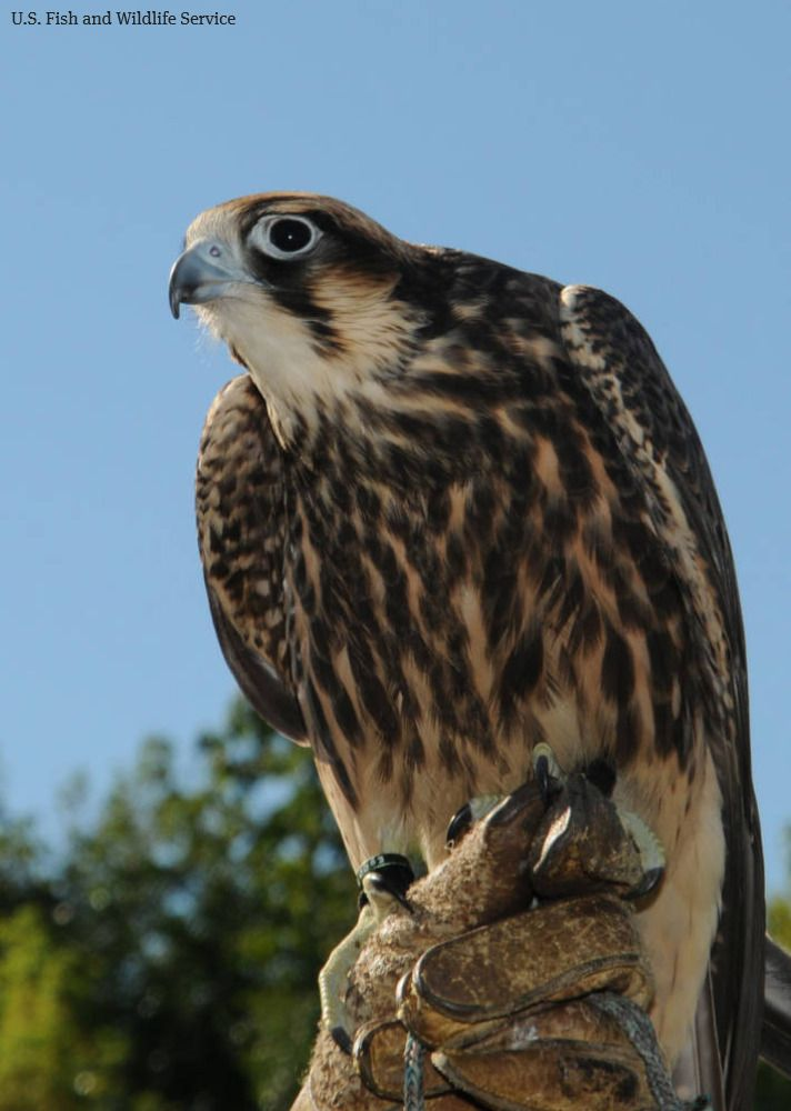 The military is funding a study of falcons to build drone killer