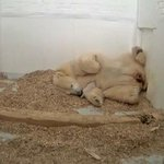 Berlin's newest polar bear dies after 26 days