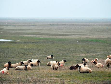 Grazing dangerously: The Romanian sheep nibbles at US security