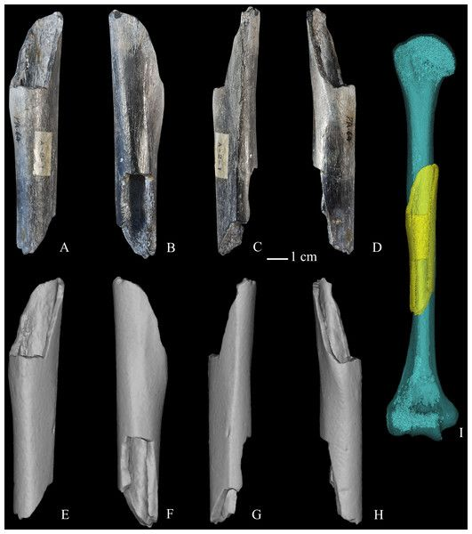 test Twitter Media - ICYMI: Morphology and structure of Homo erectus humeri from Zhoukoudian, Locality 1 https://t.co/t2kqJABwCm https://t.co/wwvh1GPXQV