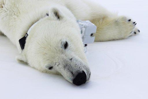 Climate change diet: Arctic sea ice thins, so do polar bears