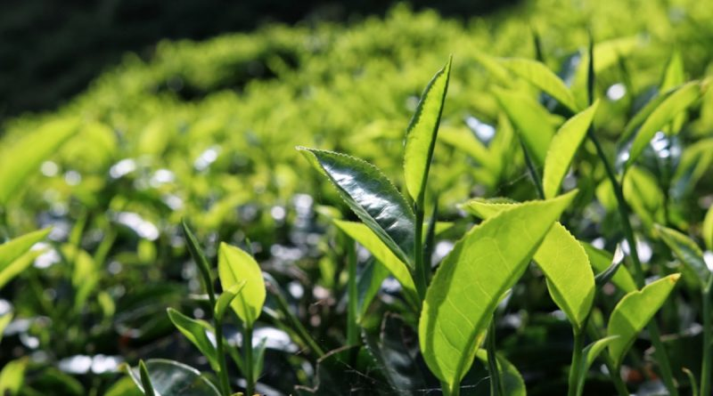 Kenya sets sights on new tea markets with opening of Sudan warehouses