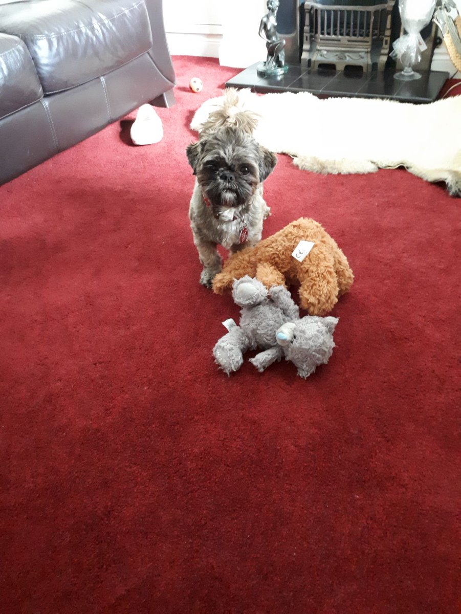 Who's gonna play with me today? #dogsoftwitter #myshihtzu #cutedogs https://t.co/EFKPFudFBL