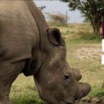 Sudan, the world's last white male northern rhino,...