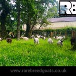 Goats helping inthe Garden...#rarebreedgoats #britishprimitivegoats https://t.co/VOovhd9k8O https://t.co/Oe8tMKGiCo