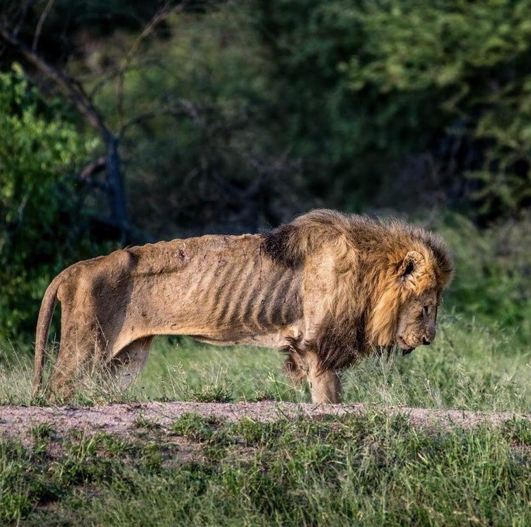 An elderly Lion in his final hours.  Photograph by Larry Pannell. https://t.co/2wlzpAJlKm
