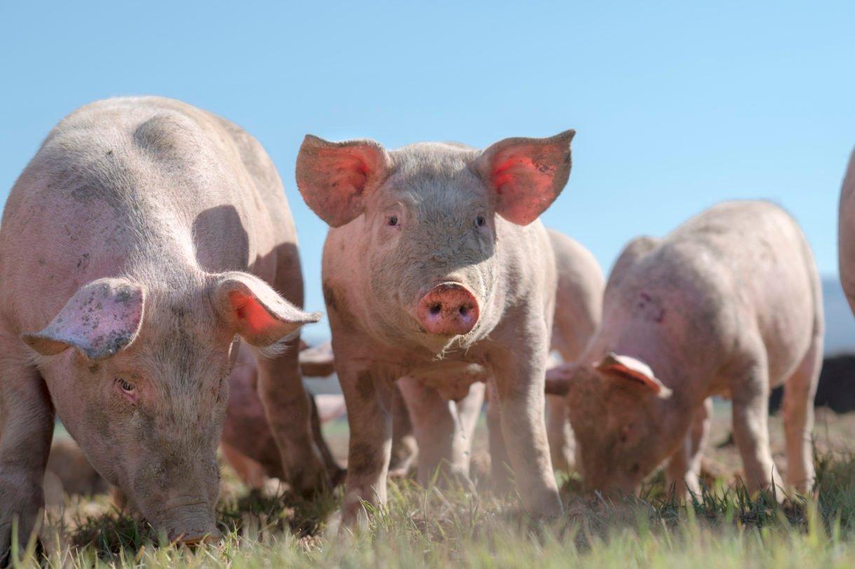 GREAT NEWS! ��  Signature goal was surpassed in the #California farm animal ballot campaign: https://t.co/UZYQZCMrYa https://t.co/sG0LeFDD3e