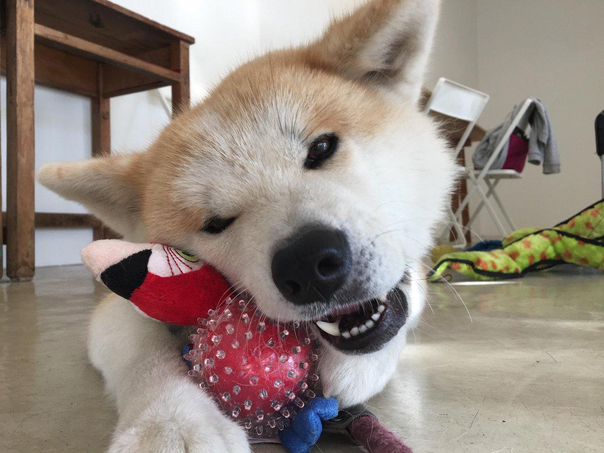 RT @akitainu_z: おもちゃ、もらいましたのん!! https://t.co/GzDcNVt1d5