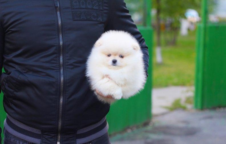 ポメラニアン 子犬 画像