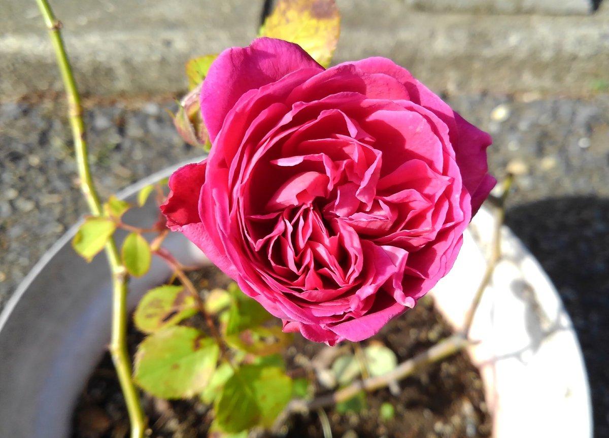 test ツイッターメディア - 今年のバラ2021-47  シベール  1999年 フランス ギヨー社  少し紫がかかった鮮やかな赤ピンク  中輪  カップ咲き  チャーミングな色と形です😉♥️ https://t.co/GORx9KW1eq