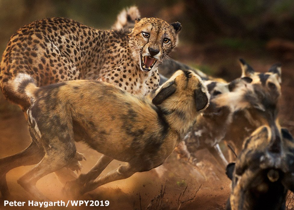 Plenty of artistry to admire in the Highly Commended pictures which are released today. I love African wild dogs so I obviously love this from Peter Haygarth. #WPY55 @NHM_WPY https://t.co/656kRvzhq6
