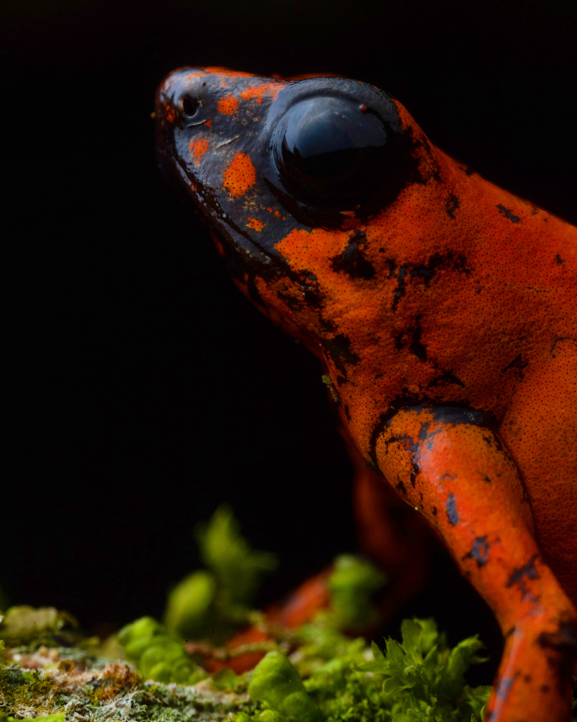 Diablito is a poison dart frog found in Ecuador & Colombia. They vary in color – this individual was a brilliant orange. In Ecuador, they suffer from deforestation & poaching for the pet trade. Luckily, the population is stable at sites managed by @jocotoco_org. 📸: Sean Graesser https://t.co/jcdYy0m8NU