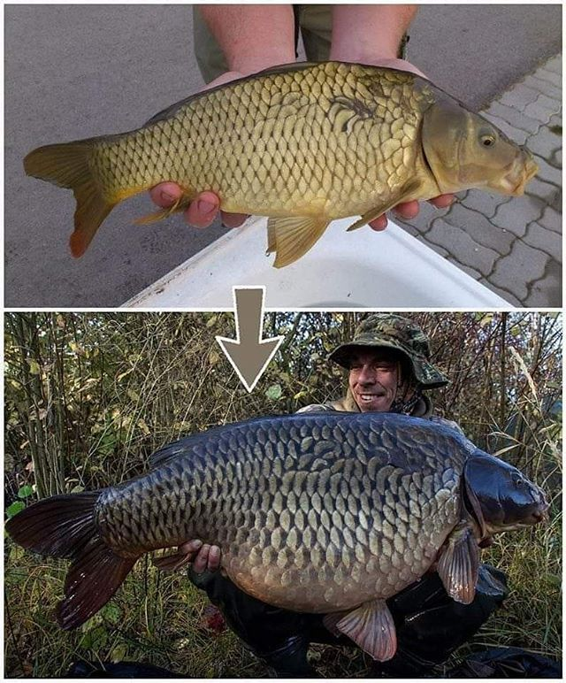 Carp grow fast they are filter <b>Feed</b>ers. Their life span is up the 20 years!👏  #carp #carpf