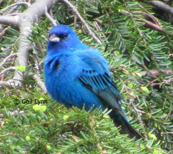 #TwitterNatureCommunity #birders #birdwatching Seeing a lot of #IndigoBunting today in my yard. So happy they have been regulars here for about a month now. #Spring #nature