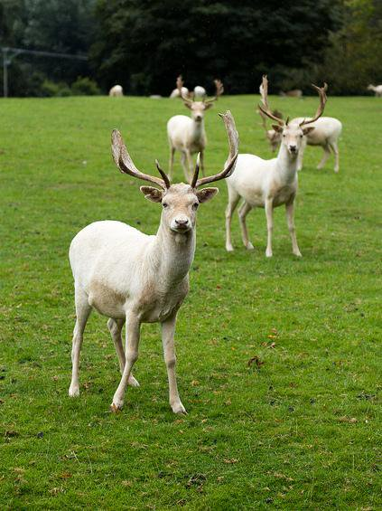 The white deer of Mallow Castle, Co. Cork. The original herd dates back to the late 16th century, when Elizabeth I gifted these distinctive deer to the  Norreys family of Mallow castle   Photo: