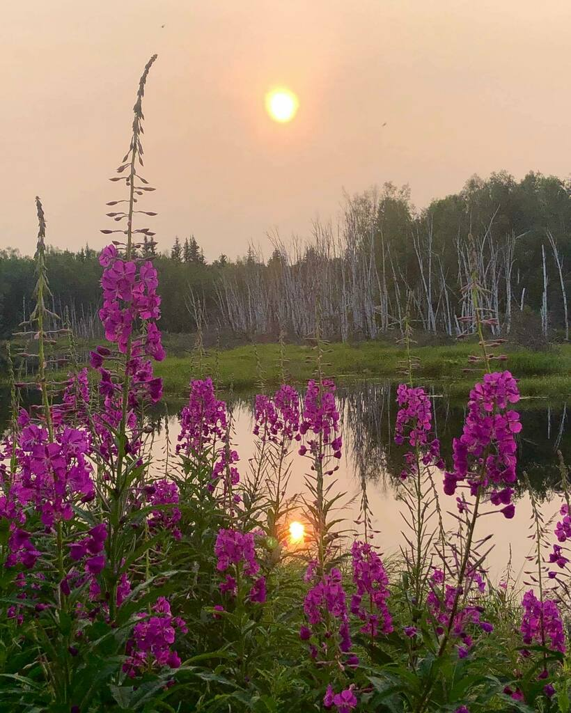 Vibrant fireweed 🌸 against a fiery peach colored sky. The sky turned this color near sunset due to wildfire smoke drifting in from Siberia last week. Imagine Wild Open Spaces 🙌 Explore Fairbanks Responsibly @alaskareedgeiger  . . . . #wildfire #wildfires #peachcoloredsky #pe…