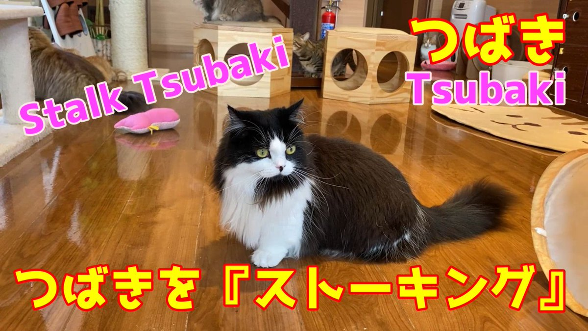 test ツイッターメディア - つばきのYoutube動画をアップしました! 見てにゃん♪ https://t.co/OPpGORPOe8  毎日かわいい猫動画を配信しています!★チャンネル登録★よろしくお願いします↓ https://t.co/wsCQPprDHb  #猫動画 #マンチカン #猫好き #猫好きさんと繫がりたい https://t.co/QU48i9zQVO