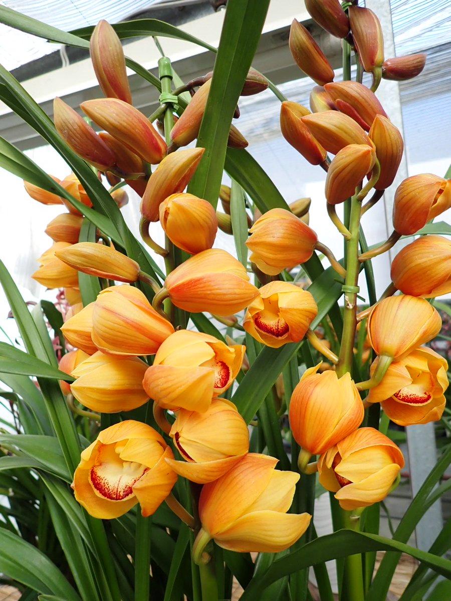 test ツイッターメディア - Cymbidium 'Marroncake' is abloom.  コロンとした花形が可愛らしいシンビジウム'マロンケーキ'✨ 珍しいオレンジ色に近い黄色で元気をもらえそう! #cymbidium #orchids  #orchid #mukoyamaorchids #marroncake #flower #シンビジウム #シンビジューム #洋ラン #蘭 #向山蘭園 #marroncake https://t.co/5N2i16GszL