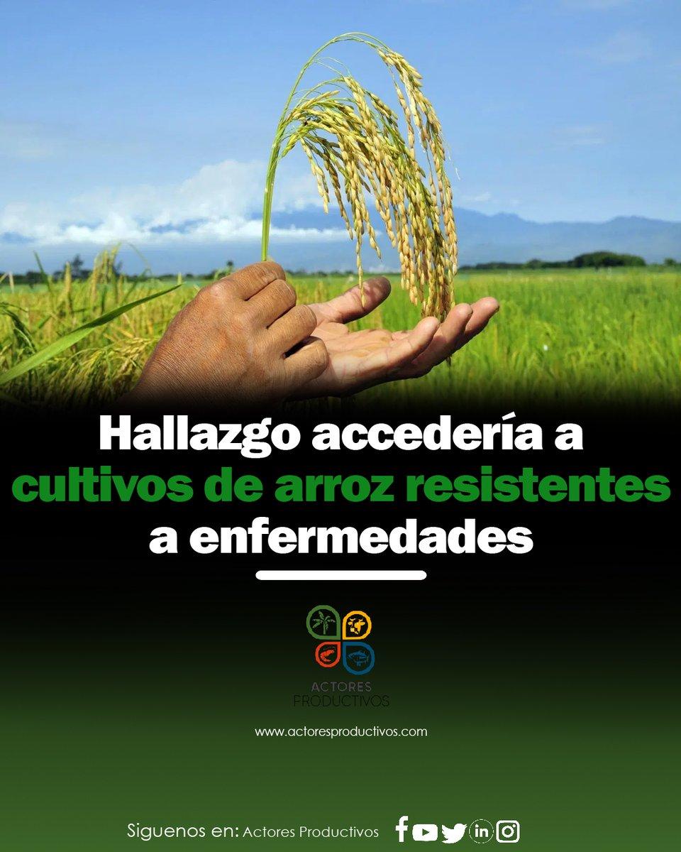 test Twitter Media - Magnaporthe oryzae, el hongo que conduce a la enfermedad de la explosión del arroz , crea lesiones en las plantas de arroz que reducen el rendimiento y la calidad del grano. #soyactorproductivo ➡ https://t.co/1tfNoO4U1c https://t.co/ap6Ia3Hf4P