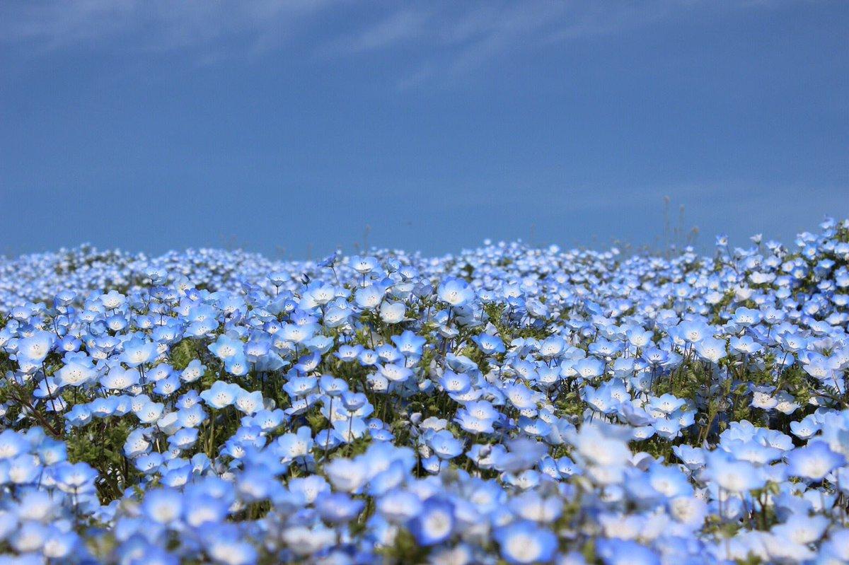 test ツイッターメディア - @azipon_mui そそ!!!茨城のひたち海浜公園!ここは天国💙  4年前だから今年こそは行きたいんだ!!🥰✨  千本桜!!!綺麗だねー!🌸💗 めっちゃ綺麗なお写真!!💗 有名なんだ!!✨ https://t.co/WYAzuAD9n6