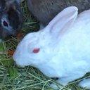 ウサギ公爵、