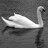 @Swanimages