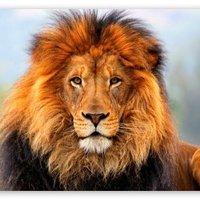 Lion03739528